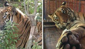 tigre hoover rescatado 9