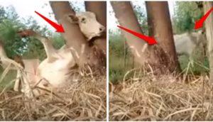 vaca-cabeza-a-atrapada-en-arbol1 - copia