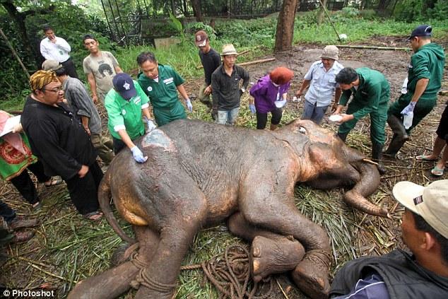 yani el elefante trágico siendo curado