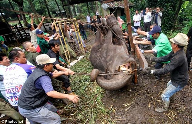 yani el elefante trágico siendo levantado
