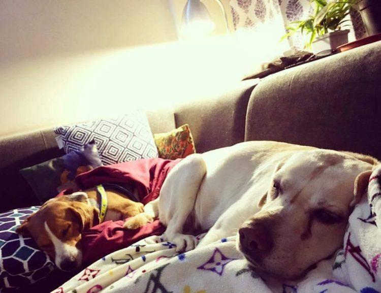 42-Beagles-rescatados 12