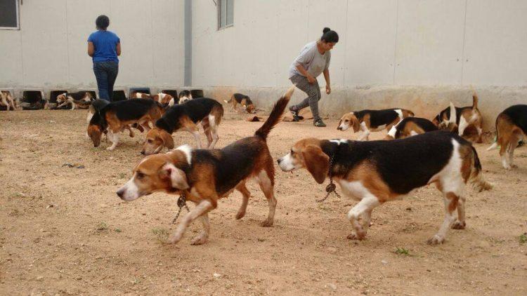 42-Beagles-rescatados 2