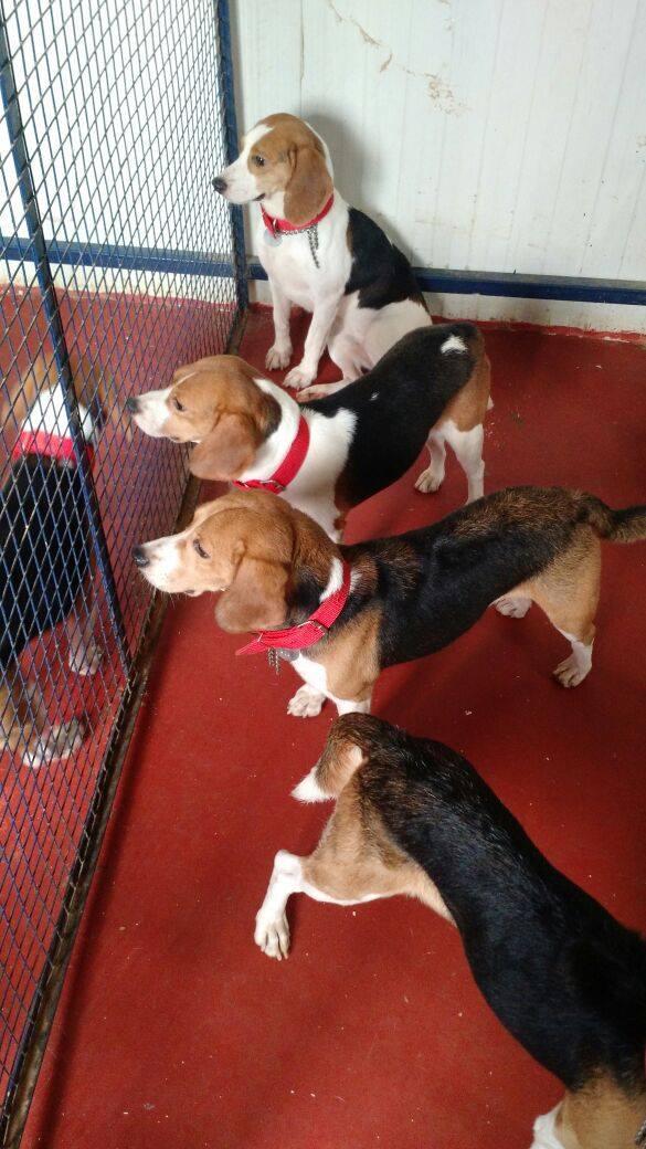 42-Beagles-rescatados 3