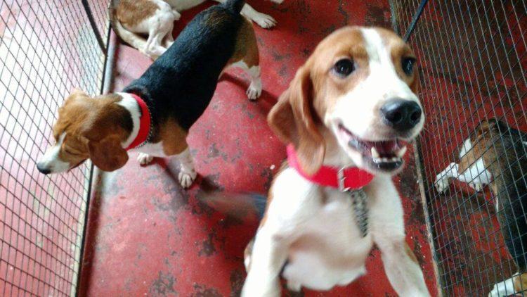 42-Beagles-rescatados 6