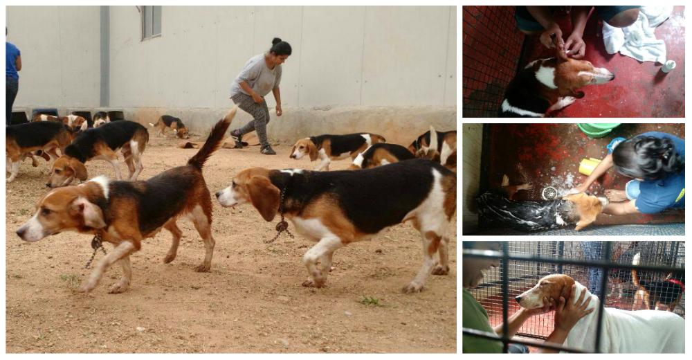 Baño Mas Grande Del Mundo:El baño de perros más grande del mundo: ¡42 beagles estarán