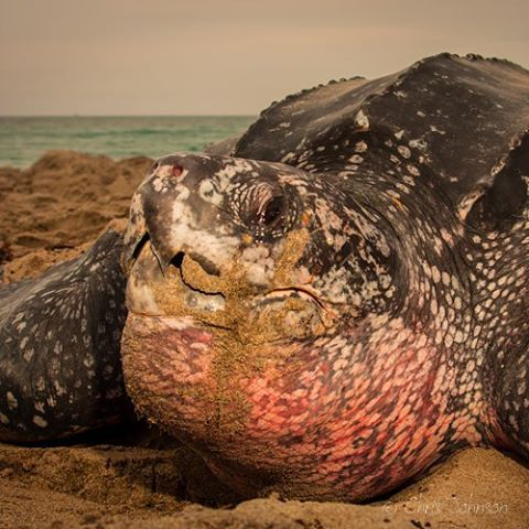 Boca-tortuga-marina 3