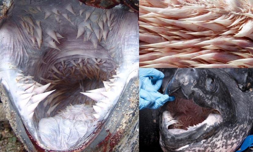 Boca-tortuga-marina 7