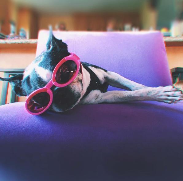 Boston-terrier-ciego 2