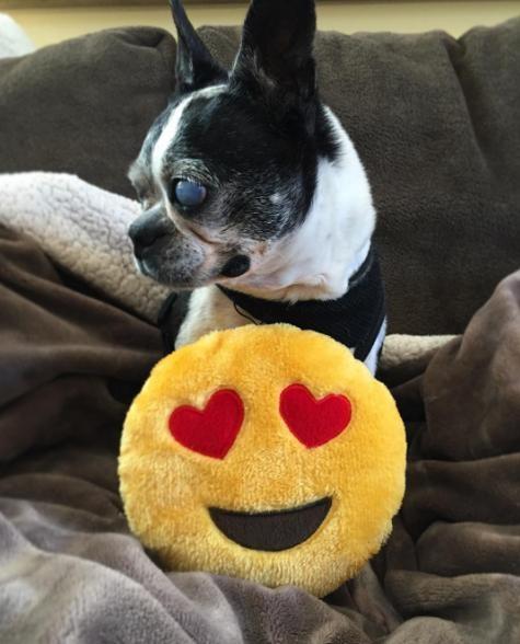Boston-terrier-ciego 4