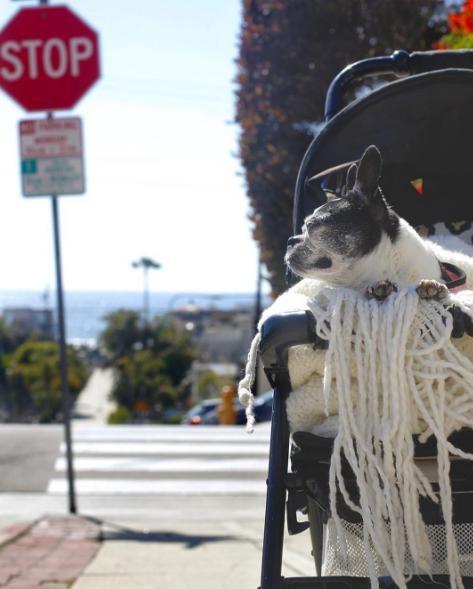 Boston-terrier-ciego 7