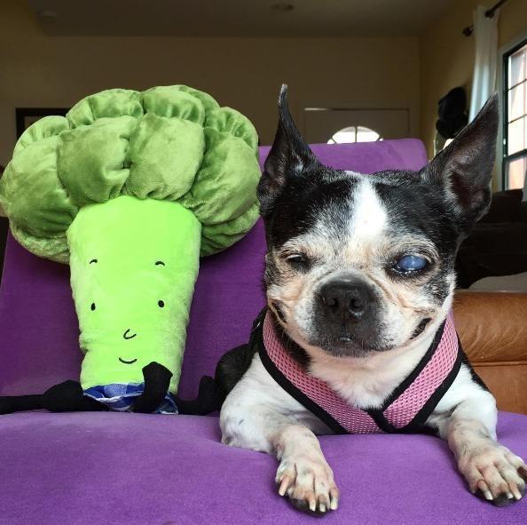 Boston-terrier-ciego 8