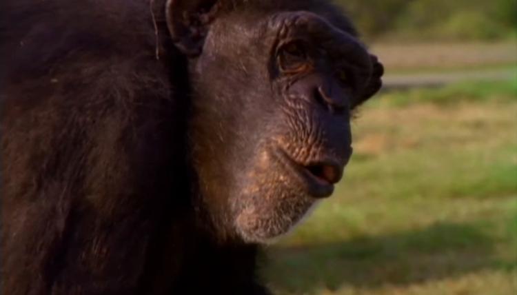 Chimpance-laboratorio-reencuentro 1