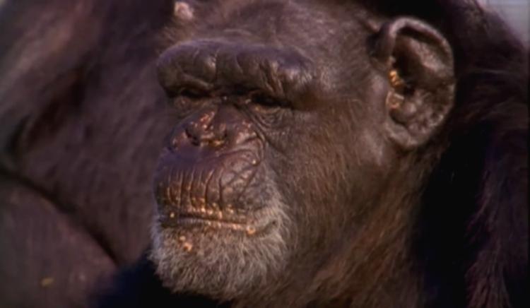 Chimpance-laboratorio-reencuentro 4