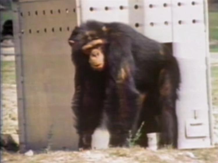 Chimpance-laboratorio-reencuentro 5