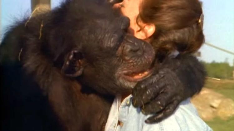 Chimpance-laboratorio-reencuentro 8