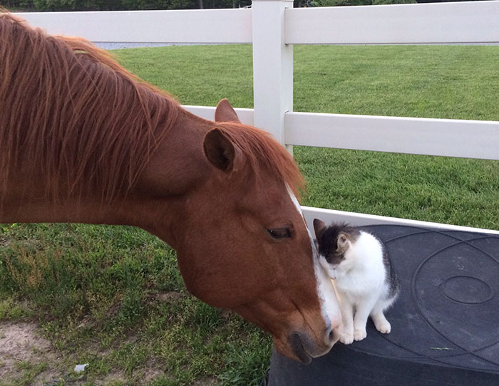 Gato-caballo-amigos 01