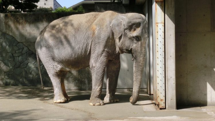 Hanako-elefante-murio 1