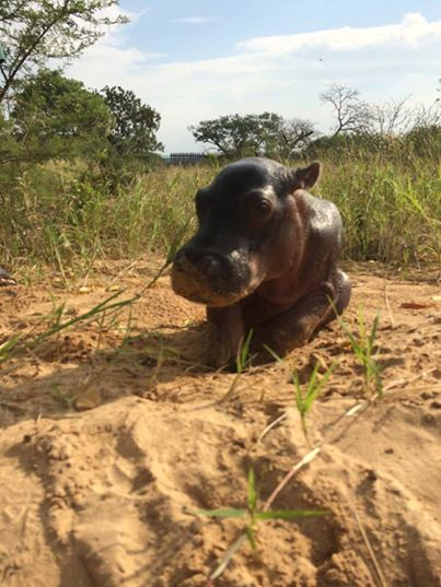 Hipopotamo-y-rinoceronte-bebe 1