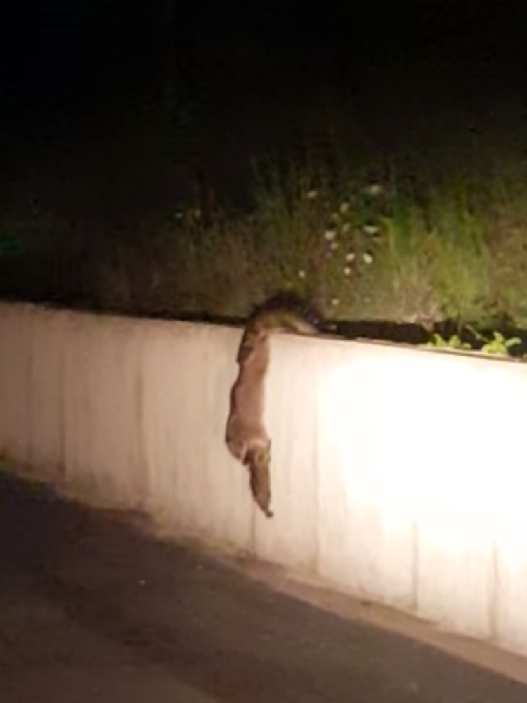 Madre-mapache-inteligente 1