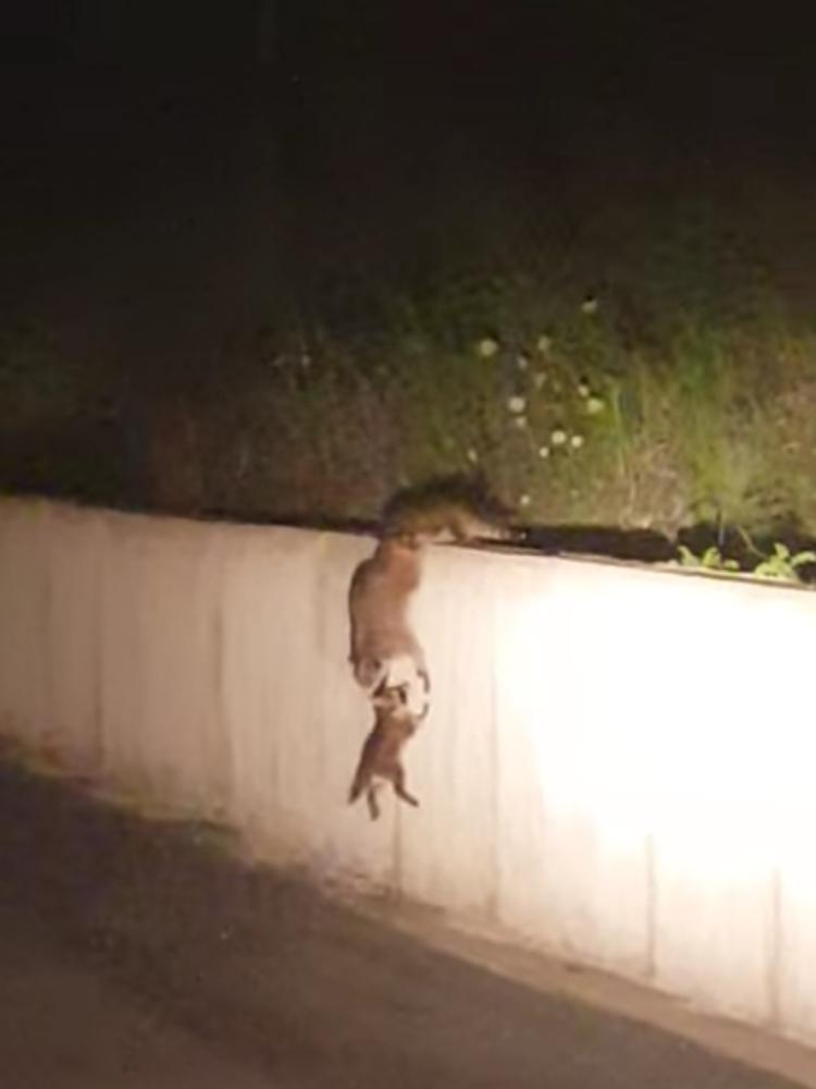 Madre-mapache-inteligente 2