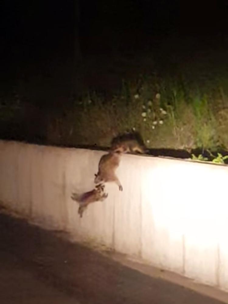 Madre-mapache-inteligente 3