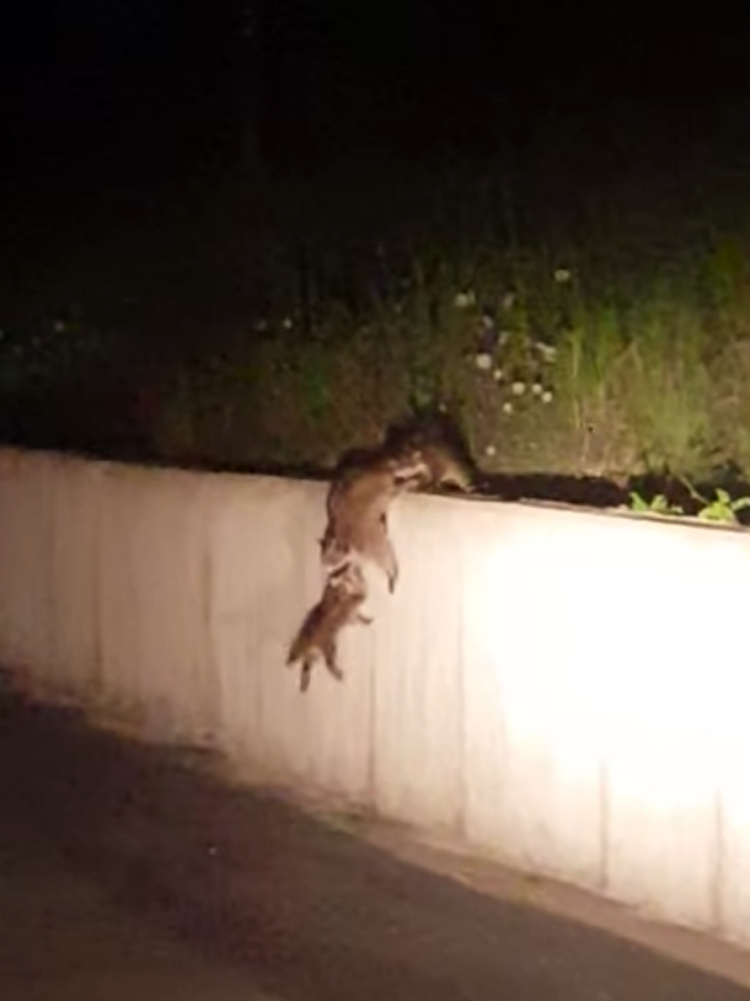 Madre-mapache-inteligente 4