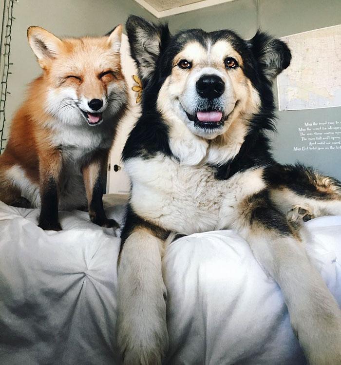 Perrito Fox 1
