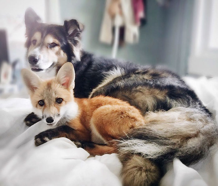 Perrito Fox 10