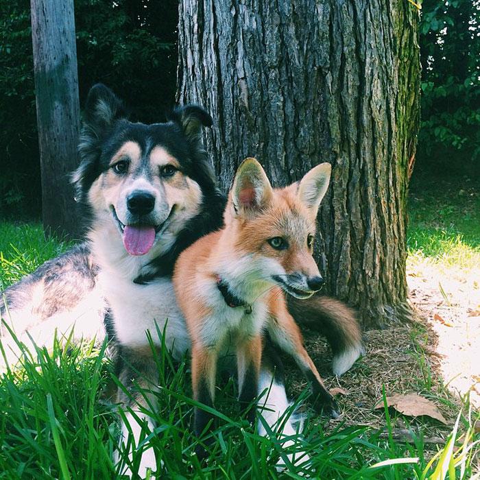 Perrito Fox 11
