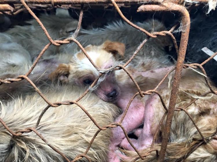 Rescate-perros-festival-china 11