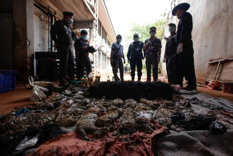 Tigres-muertos-tailandia 1