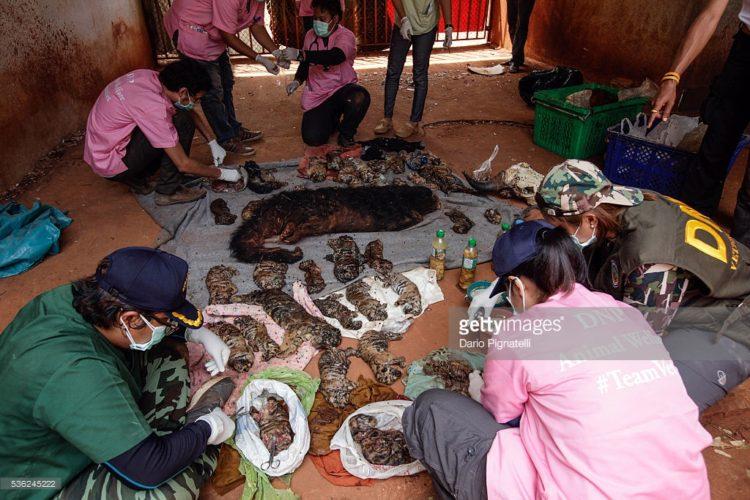 Tigres-muertos-tailandia 10