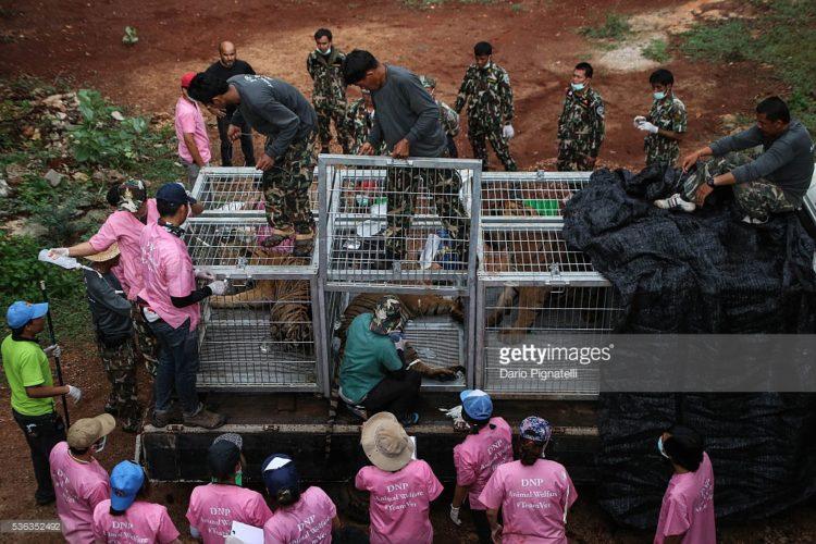 Tigres-muertos-tailandia 7