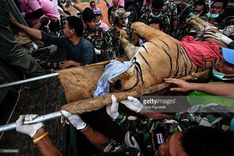 Tigres-muertos-tailandia 8