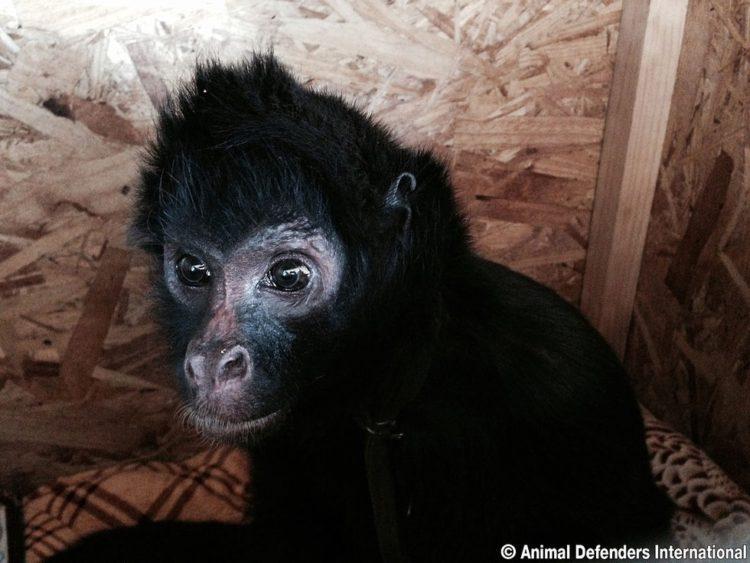 animales de circo liberados mono araña