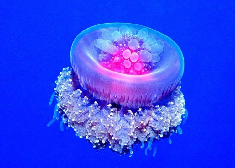 animales marinos medusa corona