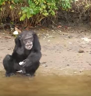 chimpance-abandonado-liberia2