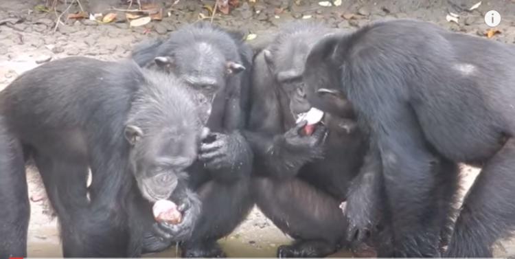 chimpance-abandonado-liberia3