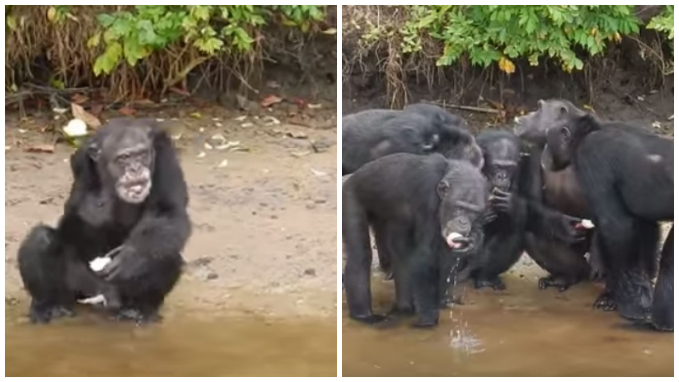 chimpances-abandonados