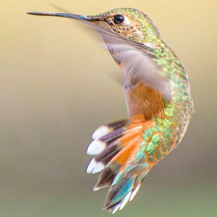 collibries hermosos especies