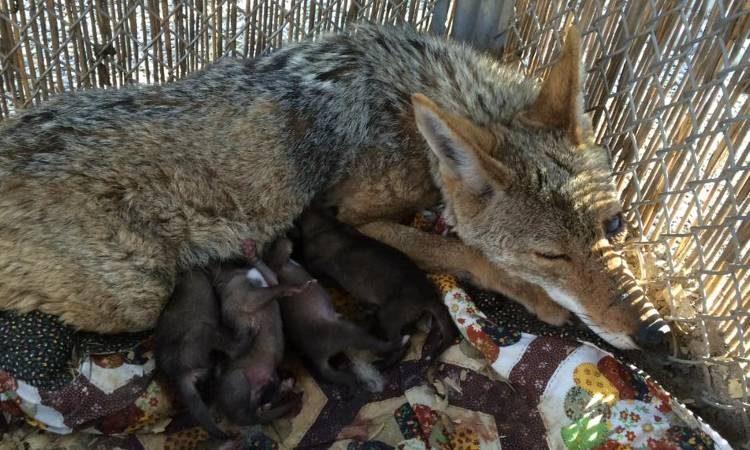 coyote-angel-herida-da-a-luz1