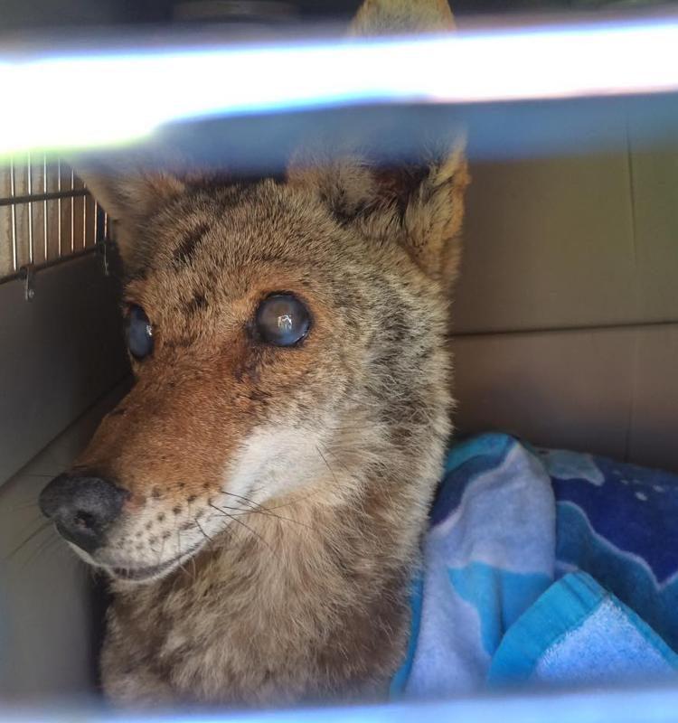 coyote-angel-herida-da-a-luz3
