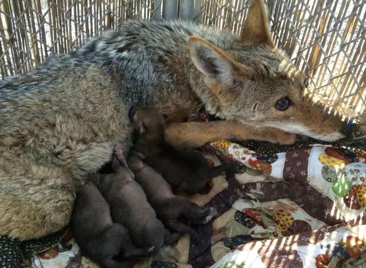 coyote-angel-herida-da-a-luz6