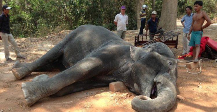 elefante muere golpe de calor trabajando 1