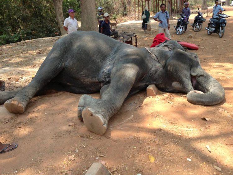 elefante muere golpe de calor trabajando 2