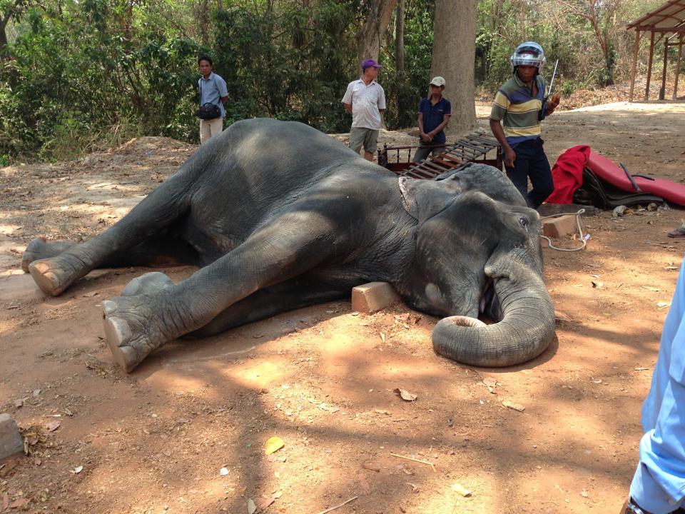 elefante muere golpe de calor trabajando 3