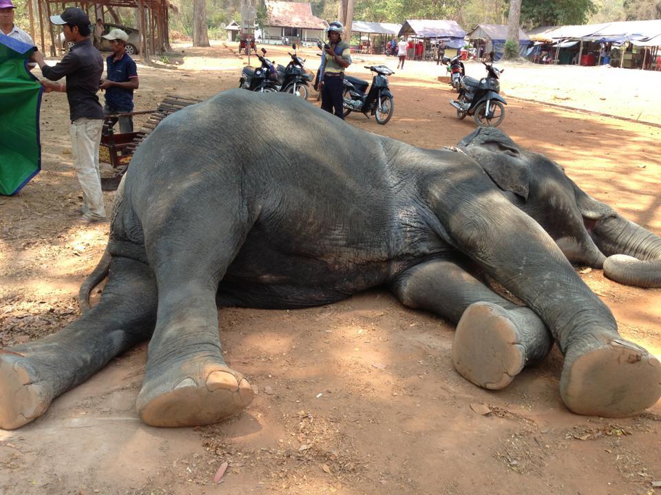 elefante muere golpe de calor trabajando 4