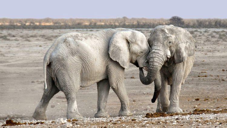 elefantes-marfil-eeuu3