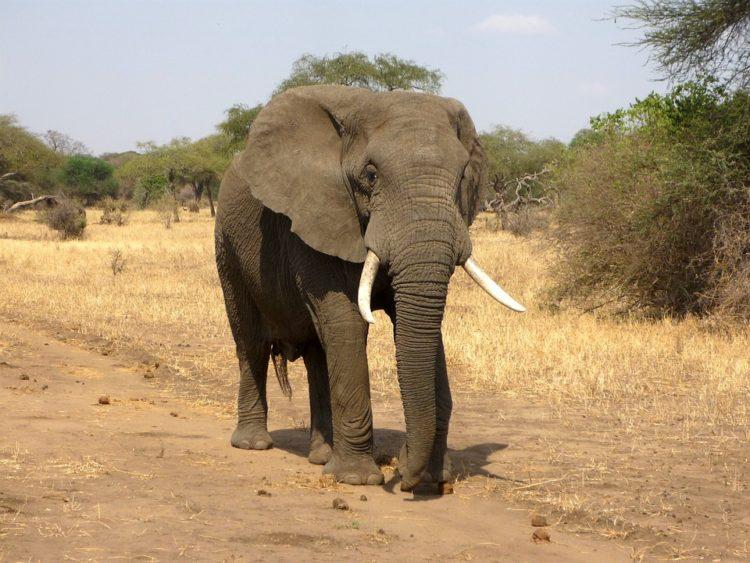 elefantes-marfil-eeuu4