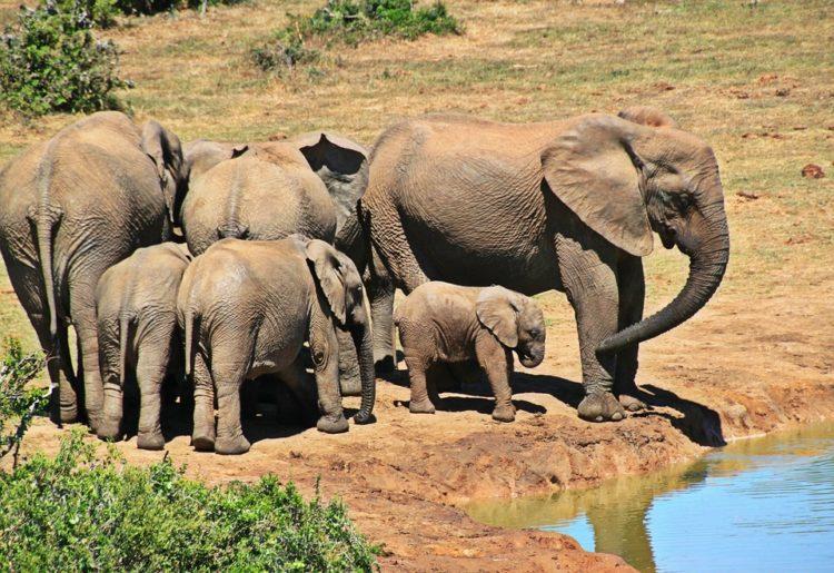 elefantes-marfil-eeuu6